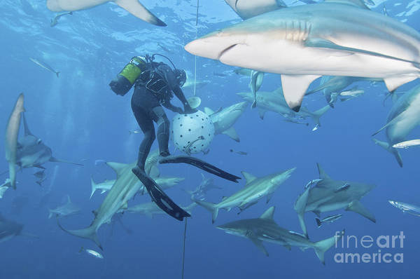 Bait Ball Photograph - Oceanic Blacktip Sharks Waiting by Mathieu Meur
