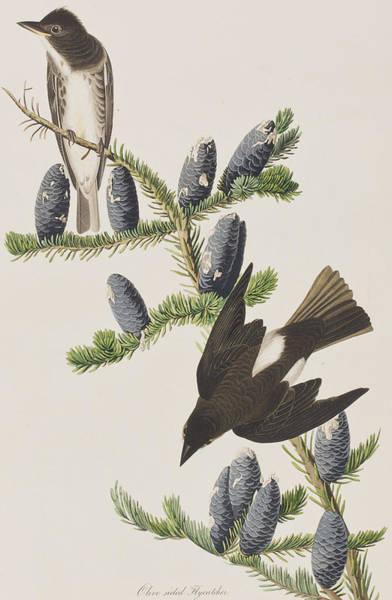 Flycatcher Painting - Olive Sided Flycatcher by John James Audubon