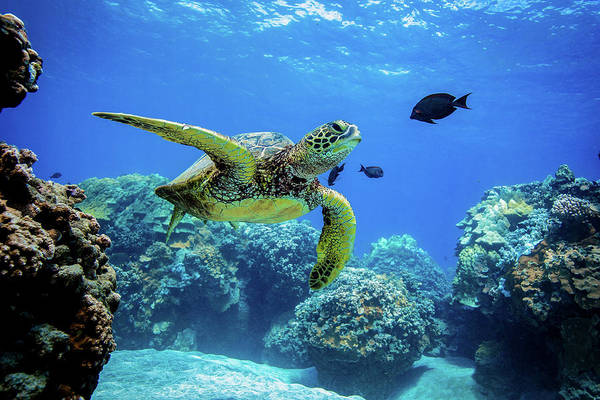 Turtle Photograph - Olowalu Honu by Drew Sulock