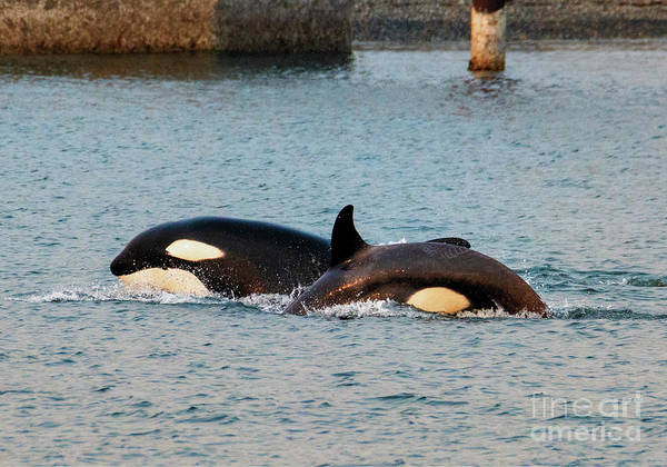 Killer Whales Wall Art - Photograph - On The Hunt by Mike Dawson