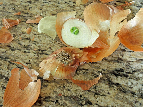 Photograph - Onion Skins by Lynda Lehmann