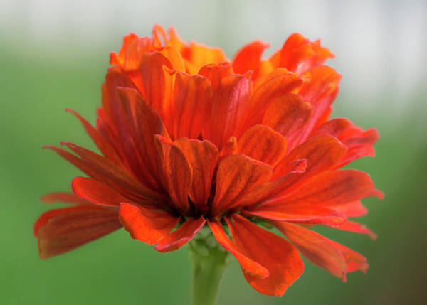 Zinnia Wall Art - Photograph - Red Zinnia  by Jim Hughes