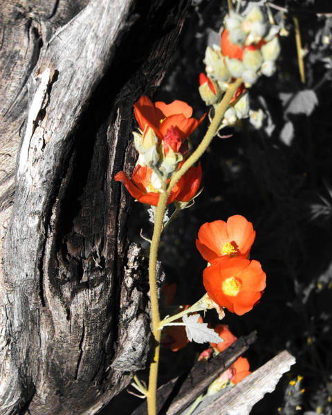 Photograph - Orange Beauty by Unlimitedearth Jess