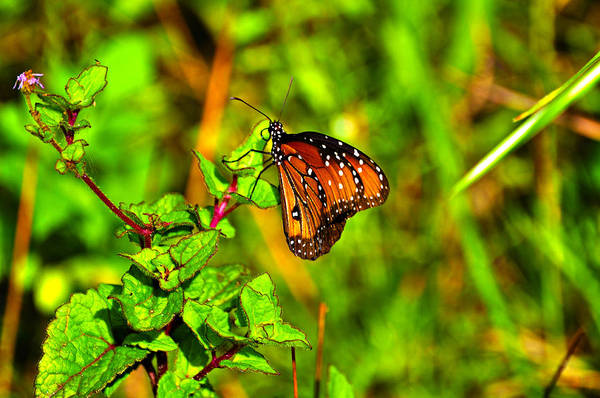 Flutterby Wall Art - Photograph - Orange Butterfly Too by Randy Aveille
