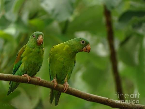Orange -chinned Parakeets  Art Print