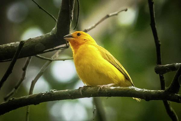Photograph - Orange Fronted Yellow Finch Panaca Quimbaya Colombia by Adam Rainoff