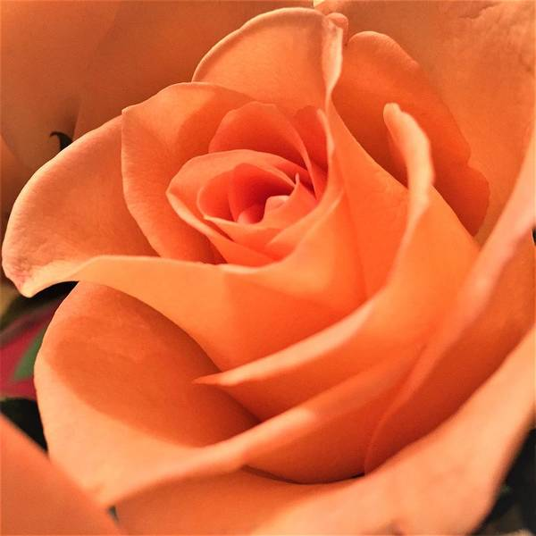 Photograph - Orange Rose by Cristina Stefan