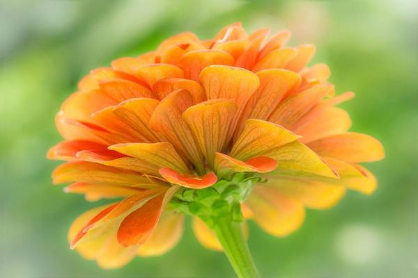 Photograph - Orange Zinnia  by Jim Hughes