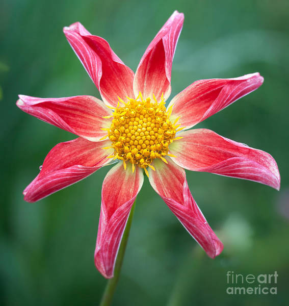 Photograph - Orchid Dahlia by Ann Jacobson