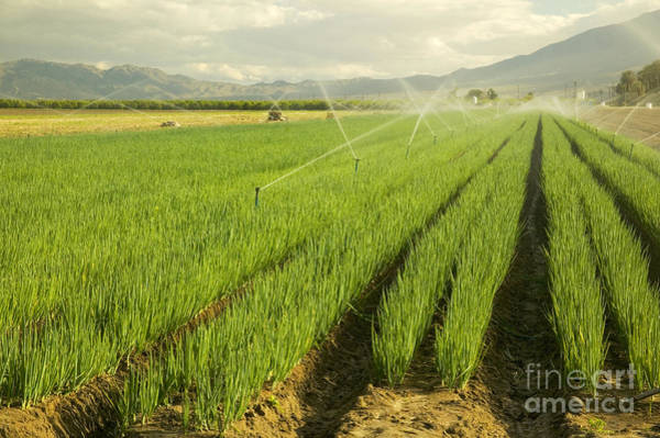 Scallion Photograph - Organic Green Onions by Inga Spence