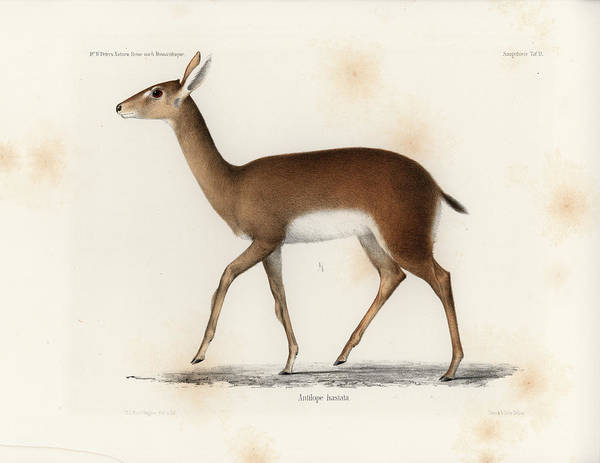 Drawing - Oribi, A Small African Antelope by J D L Franz Wagner