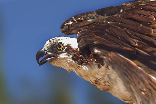 Photograph - Osprey  by Brian Cross