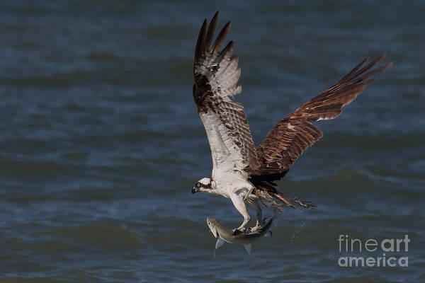 Photograph - Osprey In Flight by Meg Rousher