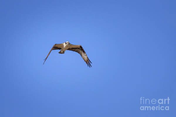 Photograph - Osprey In Flight by Richard Smith