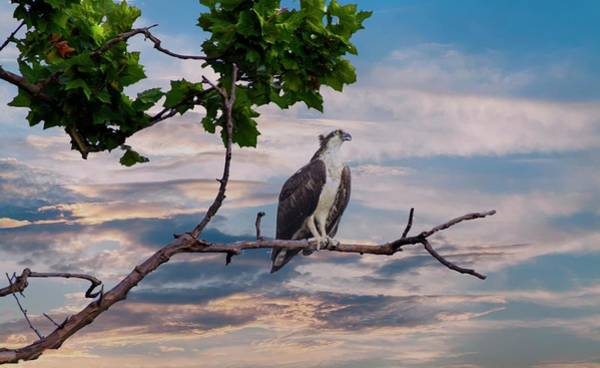Photograph - Osprey In Tree by Buddy Scott