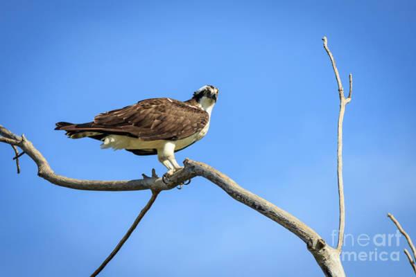 Photograph - Osprey On A Dead Tree by Richard Smith