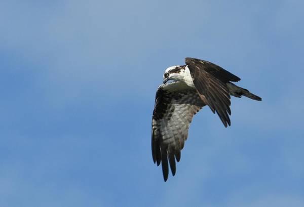 Photograph - Osprey Outlook by Fraida Gutovich