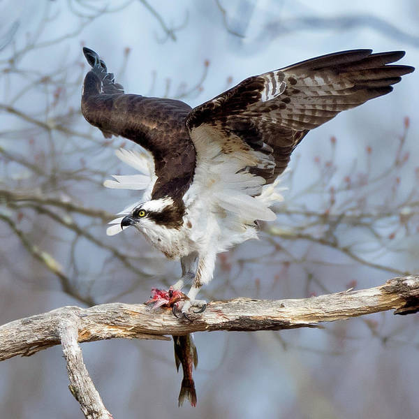 Photograph - Osprey  Square by Bill Wakeley