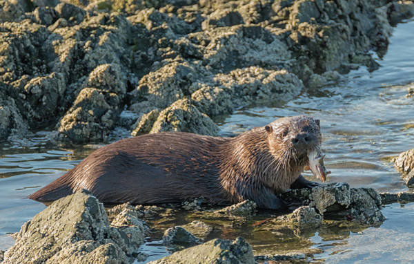 Photograph - Otter With Fish by Loree Johnson