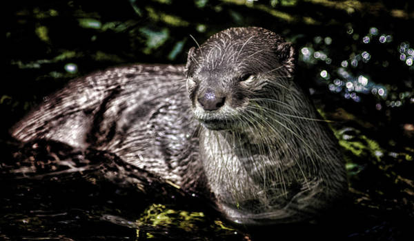 Aonyx Photograph - Otter by Martin Newman