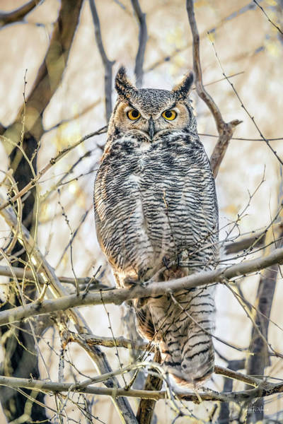 Photograph - Owl Stare by Leland D Howard