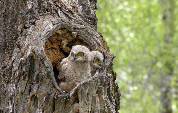 Photograph - Owlets by Ronnie and Frances Howard