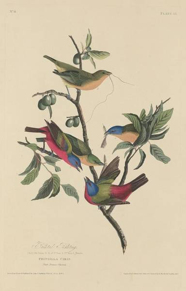Wall Art - Drawing - Painted Bunting by Dreyer Wildlife Print Collections
