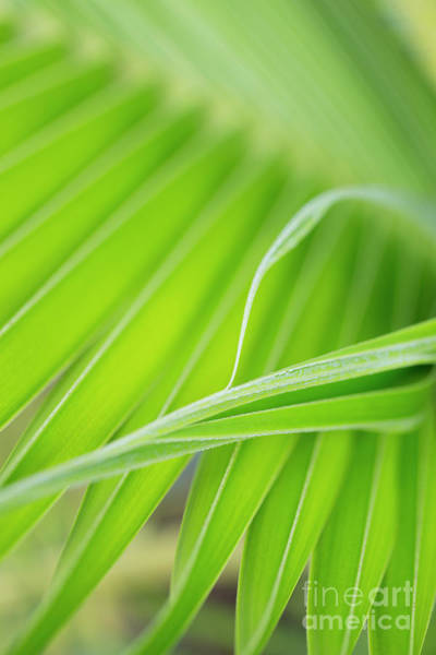 Photograph - Palm Leaf Detail by Charmian Vistaunet