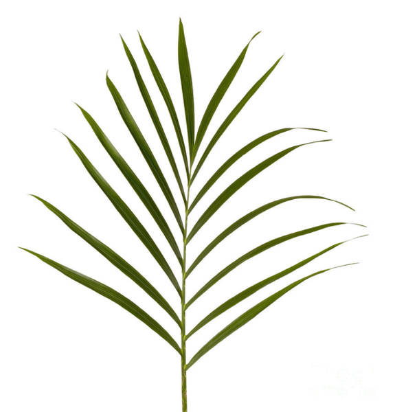 Single Leaf Wall Art - Photograph - Palm Leaf by Tony Cordoza