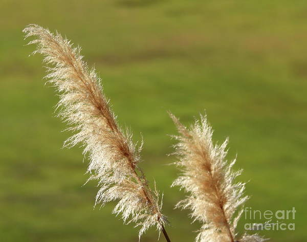 Photograph - Pampas Grass by Henrik Lehnerer