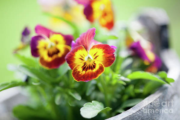 Wall Art - Photograph - Pansies by Kati Finell