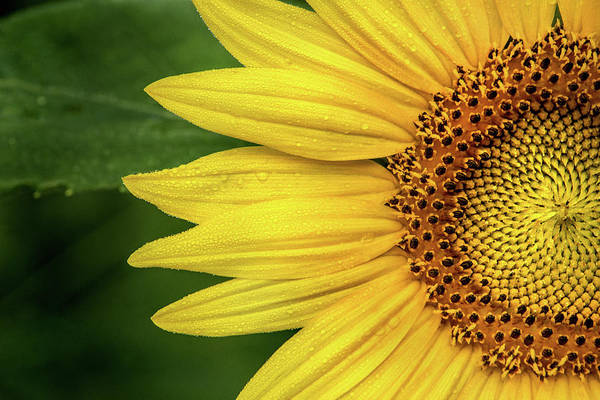 Don Johnson Photograph - Partial Sunflower by Don Johnson