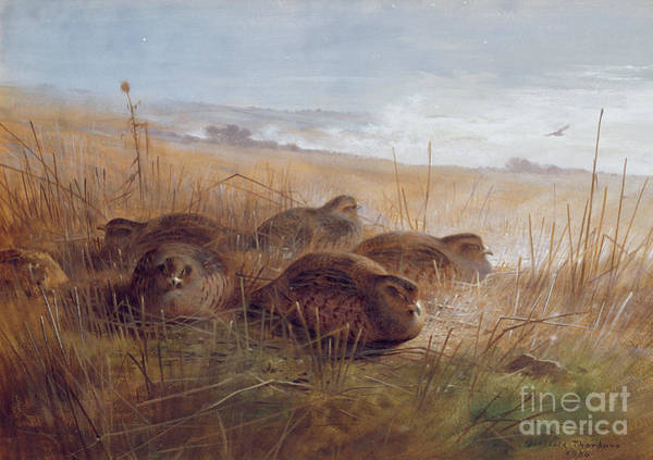 Feather Stars Wall Art - Painting - Partridges by Archibald Thorburn