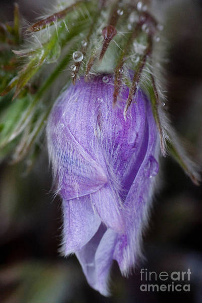 Photograph - Pasqueflower Promise by Katie LaSalle-Lowery