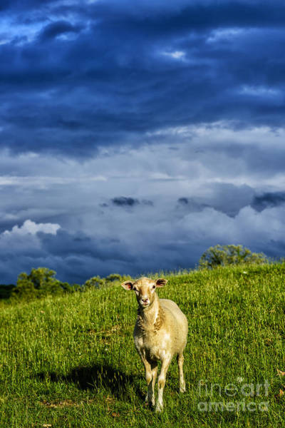 Photograph - Passing Storm And Sheep by Thomas R Fletcher