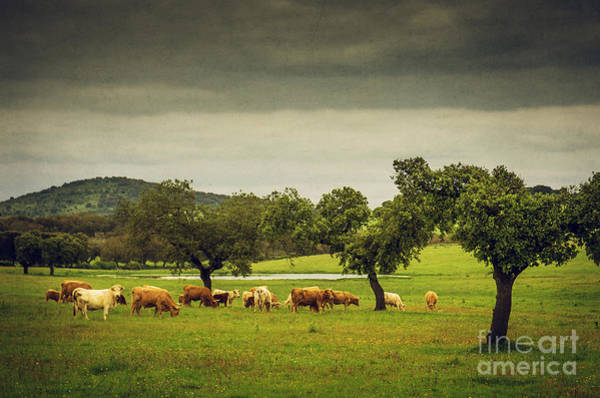 Olives Photograph - Pasturing Cows by Carlos Caetano