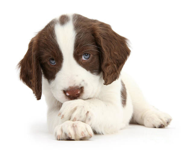 Photograph - Paws Crossed Pup by Warren Photographic