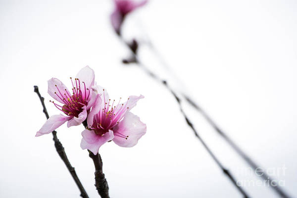 Photograph - Peach Blossom by Cheryl McClure