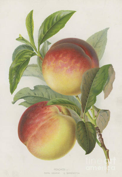 Peachy Wall Art - Painting - Peaches by English School