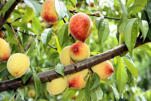 Photograph - Peaches by Kristin Elmquist