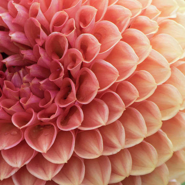 Peachy Wall Art - Photograph - Peachy Dahlia by Bonnie Bruno