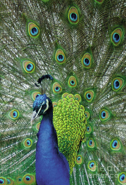 Wall Art - Photograph - Peacock  by English School