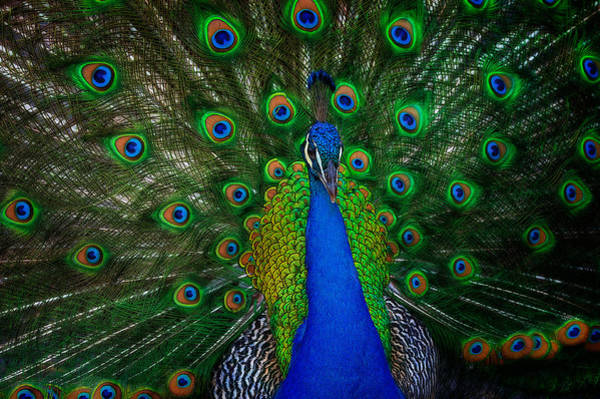 Photograph - Peacock by Harry Spitz