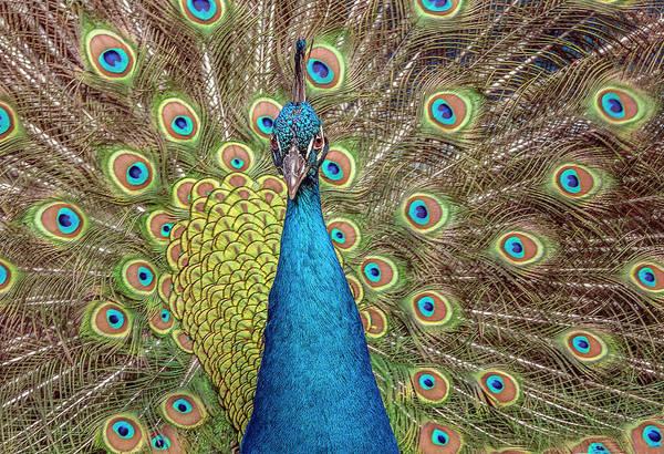 Photograph - Peacock Splendor by William Bitman