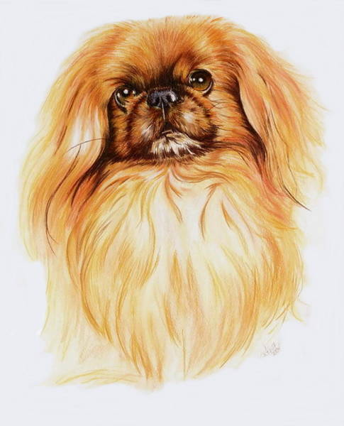 Wall Art - Painting - Pekingese by Barbara Keith