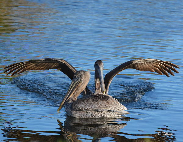 Photograph - Pelican Landing by Dan Williams