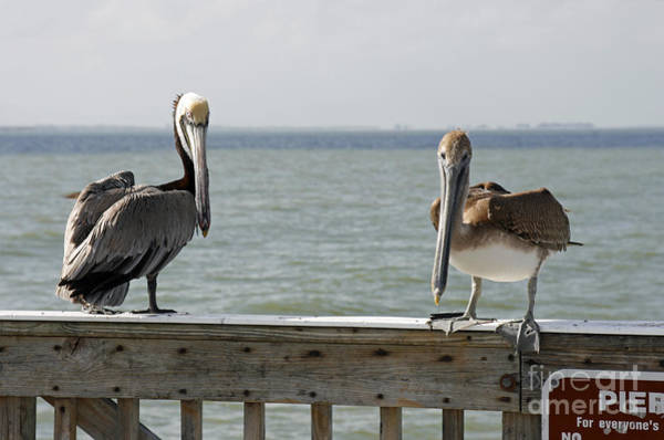 Photograph - Pelicans On The Pier At Fort Myers Beach In Florida by William Kuta