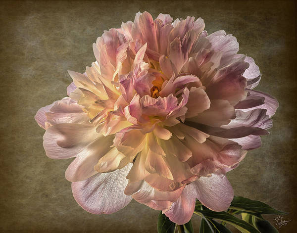 Photograph - Peony by Endre Balogh