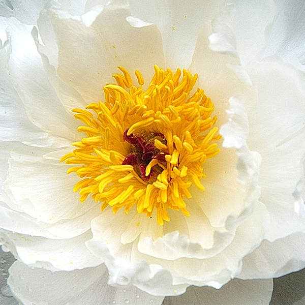 Wall Art - Photograph - Peony In White by Neil Doren