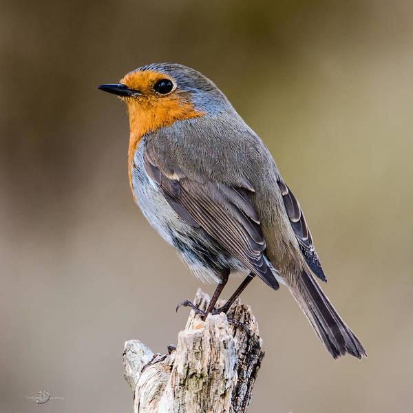 European Robin Photograph - Perching Robin by Torbjorn Swenelius